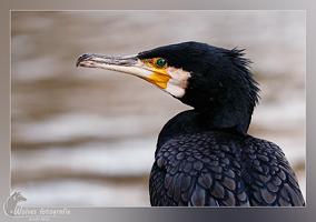 Aalscholver - Vogelfotografie - Dierfotografie - Door: Ellen Reus - Wolves fotografie