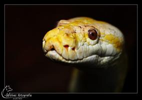 Albino Python - Reptielen- en Amfibieënfotografie - Dierfotografie - Door: Ellen Reus - Wolves fotografie