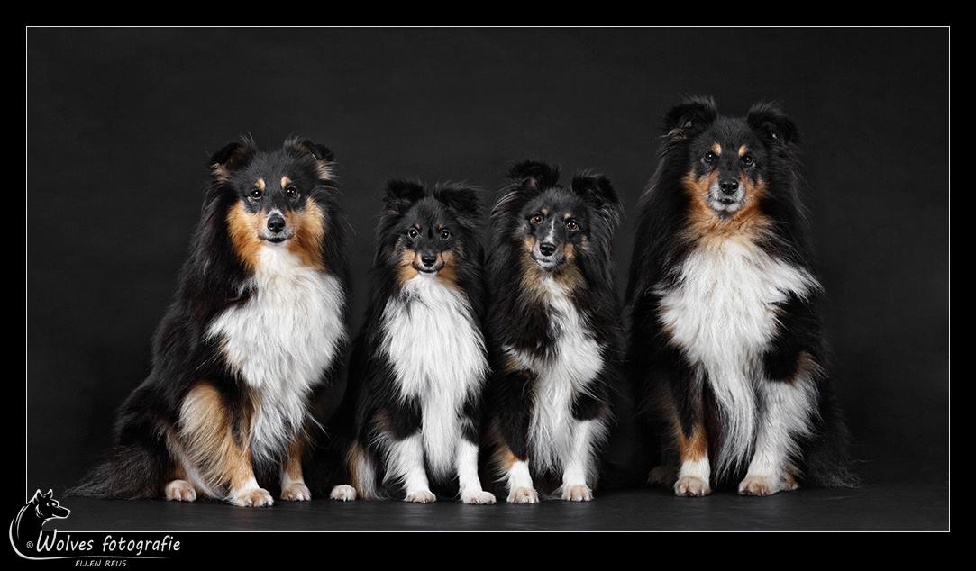 Alle vier samen - Shelties - Shetland Sheepdogs - Hondenfotografie - Dierfotografie - Door: Ellen Reus - Wolves fotografie