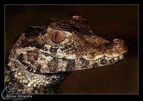 Alligator - Reptielen- en Amfibieënfotografie - Dierfotografie - Door: Ellen Reus - Wolves fotografie