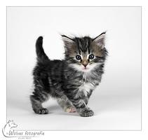 Andromeda - Kitten - Noorse Boskat - Kattenfotografie - Dierfotografie - Door: Ellen Reus - Wolves fotografie