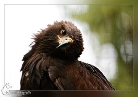 Arend - Vogelfotografie - Dierfotografie - Door: Ellen Reus - Wolves fotografie