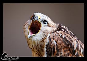 Arendbuizerd - Roofvogel - Vogelfotografie - Dierfotografie - Door: Ellen Reus - Wolves fotografie
