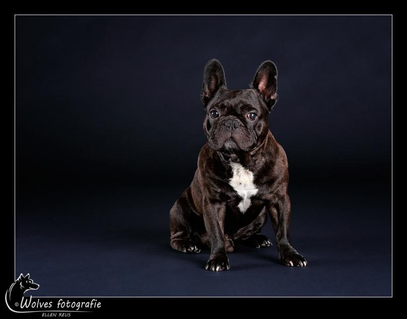 August - Franse Bulldog - Hondenfotografie - Dierfotografie - Door: Ellen Reus - Wolves fotografie