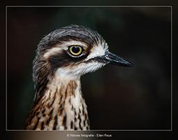Australische Griel - Vogelfotografie - Dierfotografie - Door: Ellen Reus - Wolves fotografie