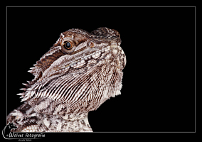 Baardagaam - Pogona Vitticeps - Reptielen- en Amfibieënfotografie - Dierfotografie - Door: Ellen Reus - Wolves fotografie