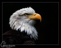 Bald Eagle - Amerikaanse Zeearend - Roofvogel - Vogelfotografie - Dierfotografie - Door: Ellen Reus - Wolves fotografie
