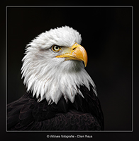 Bald Eagle - Amerikaanse Zeearend - Vogelfotografie - Dierfotografie - Door: Ellen Reus - Wolves fotografie