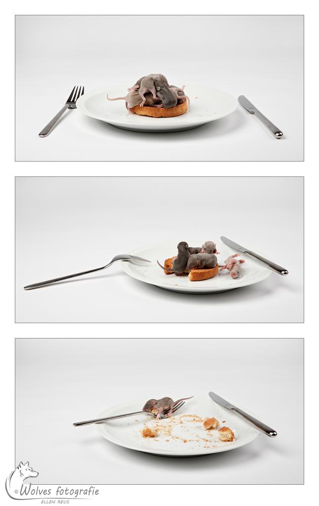 Beschuit met muisjes - rittens (jonge ratjes) op een beschuit - Fine Art - Dierfotografie - Rattenfotografie - Door: Ellen Reus - Wolves fotografie