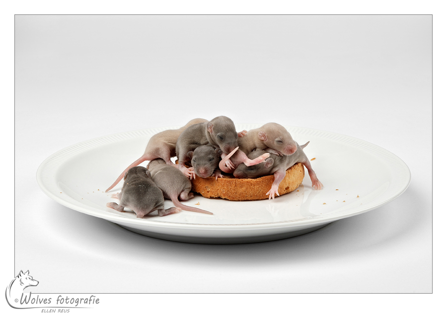 Beschuit met muisjes - Honorable Mention in the 9th annual Photography Masters Cup in the category Food - professionals - Fine Art - Dierfotografie - Rattenfotografie - Door: Ellen Reus - Wolves fotografie