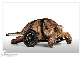 """Big Boy - Wheelchair Turtle - Nominee in the 9th annual Photography Masters Cup in the category Wildlife - professionals - Big Boy heb ik gefotografeerd voor het project: """"Gehandicapt, maar niet zielig!"""" - Dierfotografie - Door: Ellen Reus - Wolves fotografie"""