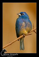 Blauw vogeltje - Vogelfotografie - Dierfotografie - Door: Ellen Reus - Wolves fotografie