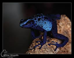 Blauwe Pijlgifkikker - Dendrobates tinctorius azureus - Reptielen- en Amfibieënfotografie - Dierfotografie - Door: Ellen Reus - Wolves fotografie