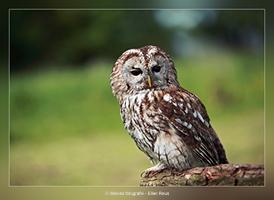 Bosuil - Vogelfotografie - Dierfotografie - Door: Ellen Reus - Wolves fotografie