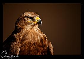 Buizerd - Roofvogel - Vogelfotografie - Dierfotografie - Door: Ellen Reus - Wolves fotografie