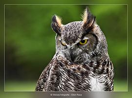 Canadese Oehoe - Vogelfotografie - Dierfotografie - Door: Ellen Reus - Wolves fotografie