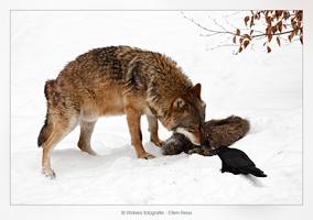Europese wolf - Canis Lupus Lupus - en kraai - Wolvenfotografie - Dierfotografie - Door: Ellen Reus - Wolves fotografie