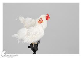 Salt en Pepper - kippen - Vogelfotografie - Dierfotografie - Door: Ellen Reus - Wolves fotografie