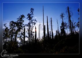 Dode bomen bos - een stuk bos dat in 1995 door de schorskever verwoest is - Bayerischer Wald - Duitsland - Landschapsfotografie - Door: Ellen Reus - Wolves fotografie