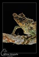 Dwergkameleon - Reptielen- en Amfibieënfotografie - Dierfotografie - Door: Ellen Reus - Wolves fotografie