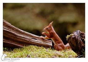 Eekhoorn - dierfotografie - Door: Ellen Reus - Wolves fotografie