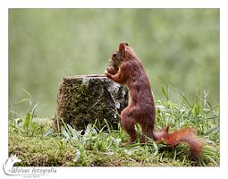 Eekhoorn - Snel een nootje stelen - dierfotografie - Door: Ellen Reus - Wolves fotografie