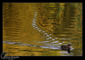Eend in het water - Alphen aan den Rijn - Landschapsfotografie / Dierfotografie - door: Ellen Reus - Wolves fotografie