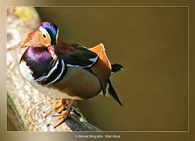 Mandarijn eend - Vogelfotografie - Dierfotografie - Door: Ellen Reus - Wolves fotografie