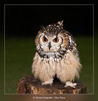 Europese Oehoe - Dreigend - Vogelfotografie - Dierfotografie - Door: Ellen Reus - Wolves fotografie