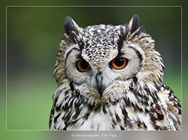 Europese Oehoe - Vogelfotografie - Dierfotografie - Door: Ellen Reus - Wolves fotografie