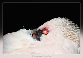 Flamingo - Vogelfotografie - Dierfotografie - Door: Ellen Reus - Wolves fotografie