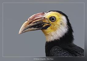 Geelwangneushoornvogel - Vogelfotografie - Dierfotografie - Door: Ellen Reus - Wolves fotografie