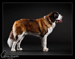Giewont - Sint Bernhard - Hondenfotografie - Dierfotografie - Door: Ellen Reus - Wolves fotografie