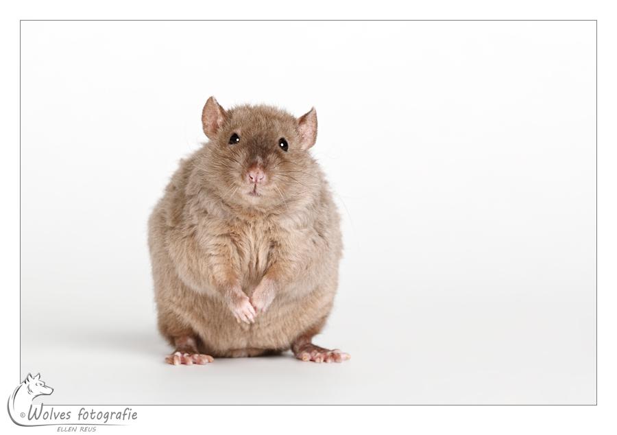 Gizmo - Rex rat - Rattenfotografie - Dierfotografie - Door: Ellen Reus - Wolves fotografie