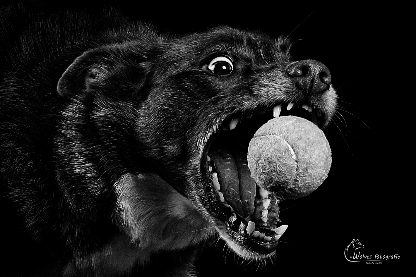 Gotcha! - Honorable Mention in the 12th annual Black & White Spider Awards in the category Wildlife - professionals - Prada - Border Collie - Hondenfotografie - Dierfotografie - Door: Ellen Reus - Wolves fotografie