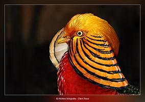 Goudfazant - Vogelfotografie - Dierfotografie - Door: Ellen Reus - Wolves fotografie