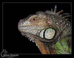 Groene leguaan - Iguana iguana - Reptielen- en Amfibieënfotografie - Dierfotografie - Door: Ellen Reus - Wolves fotografie