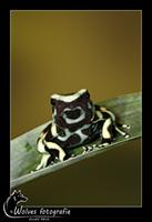 Groene Pijlgifkikker - Dendrobates Aurates - Costa Rica variant - Reptielen- en Amfibieënfotografie - Dierfotografie - Door: Ellen Reus - Wolves fotografie