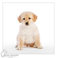 Diesel - Hovawart pup - 6 weken oud - Hondenfotografie - Dierfotografie - Door: Ellen Reus - Wolves fotografie