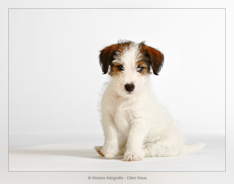 It's a Real Joy with Mighty's Little Girl - Jack Russell Terrier Pup - 7,5 week oud - Hondenfotografie - Dierfotografie - Door: Ellen Reus - Wolves fotografie