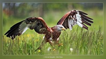 Rode Wouw - Vogelfotografie - Dierfotografie - Door: Ellen Reus - Wolves fotografie