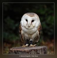 Een jong kerkuiltje - Vogelfotografie - Dierfotografie - Door: Ellen Reus - Wolves fotografie