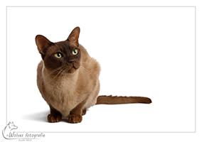 Kado - Burmees - Kattenfotografie - Dierfotografie - Door: Ellen Reus - Wolves fotografie