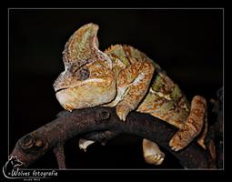 Jemen kameleon - Reptielen- en Amfibieënfotografie - Dierfotografie - Door: Ellen Reus - Wolves fotografie