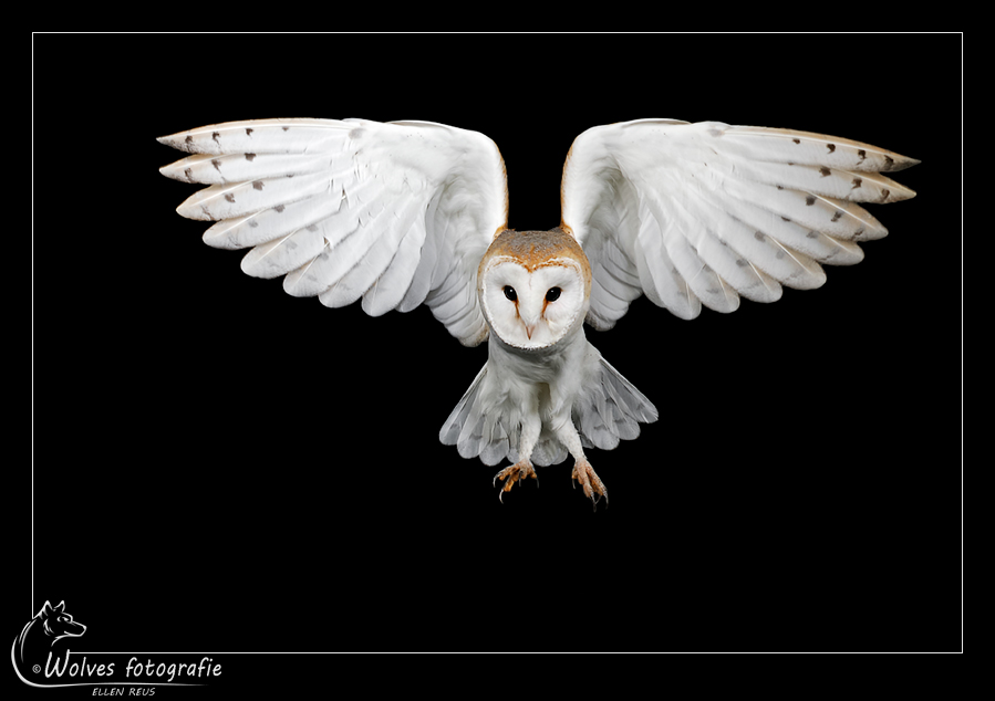 Barn Owl - Nominee in the 12th annual Photography Masters Cup in the category Wildlife - professionals - Vogelfotografie - Dierfotografie - Door: Ellen Reus - Wolves fotografie