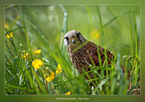 Europese Torenvalk - Vogelfotografie - Dierfotografie - Door: Ellen Reus - Wolves fotografie