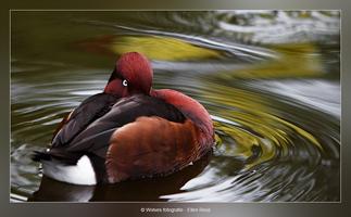 Kleurendraaikolk met eend - Vogelfotografie - Dierfotografie - Door: Ellen Reus - Wolves fotografie