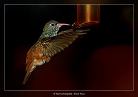 Kolibri - Vogelfotografie - Dierfotografie - Door: Ellen Reus - Wolves fotografie