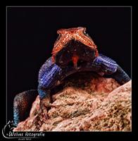 Kolonistenagaam (Agama agama) - Reptielen- en Amfibieënfotografie - Dierfotografie - Door: Ellen Reus - Wolves fotografie