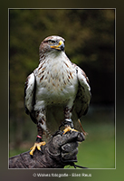 Koningsbuizerd - Vogelfotografie - Dierfotografie - Door: Ellen Reus - Wolves fotografie